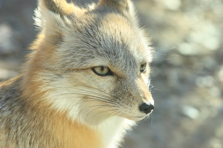 A white fox is still Stock Photo - 10853556