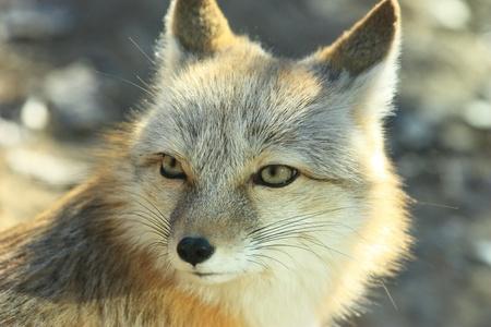 A white fox is still Stock Photo