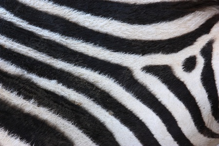 The stripe of zebra,black and white Stock Photo - 10853582