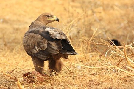 merlin falcon: a hawk is stranding in autumn