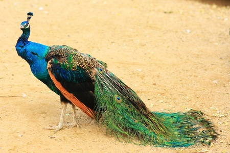 A peacock is standing with a long tail