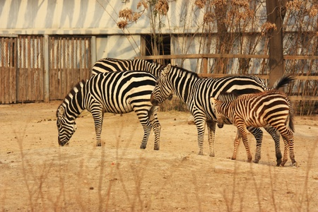 sevral zebras are eating in winter Stock Photo - 10853574