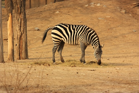 a zebra is eating in winter Stock Photo - 10853573