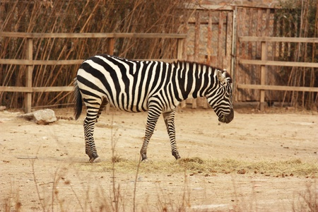 zebra  Stock Photo - 10892493