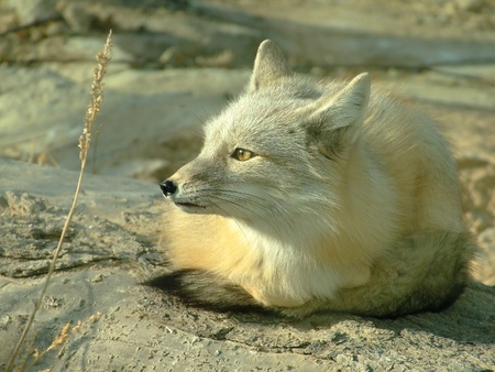 A white fox is still Stock Photo - 10881857
