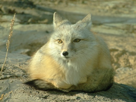 A white fox is still Stock Photo - 10881856