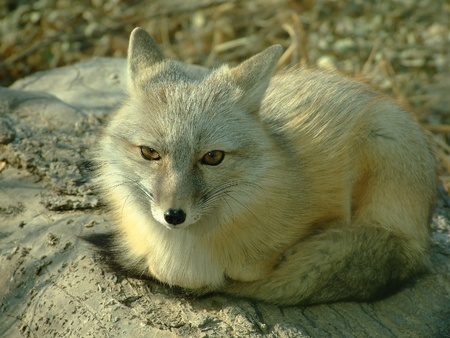 A white fox is still Stock Photo - 10881858