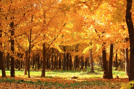 golden leaves at autumn