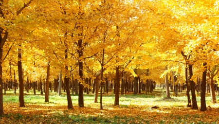 golden leaves at autumn photo