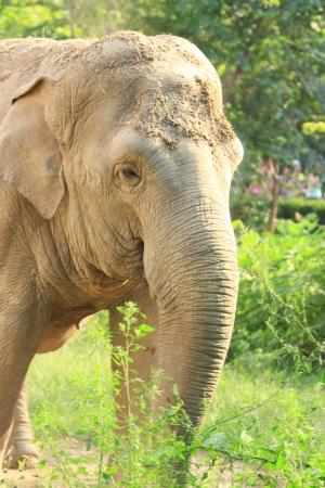 the portrait of asian elephant