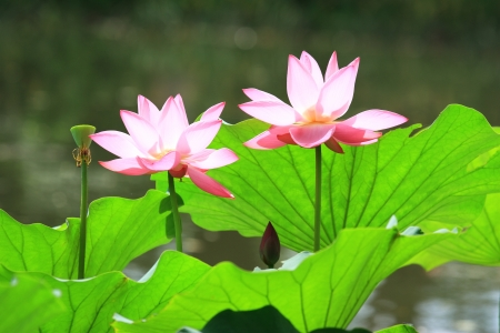 lotus with leaf in summer Stock Photo