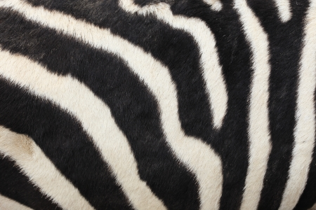 The stripe of zebra,black and white photo