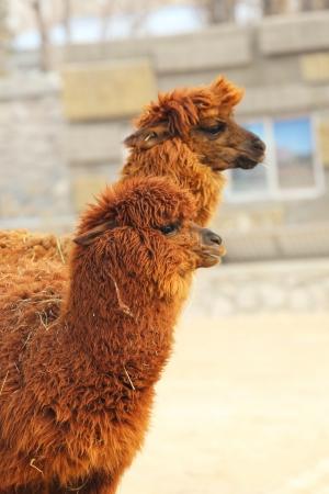 muffle: an alpacas in the zoo Stock Photo