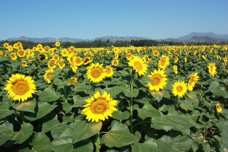 many bright sunflowers at sunny photo