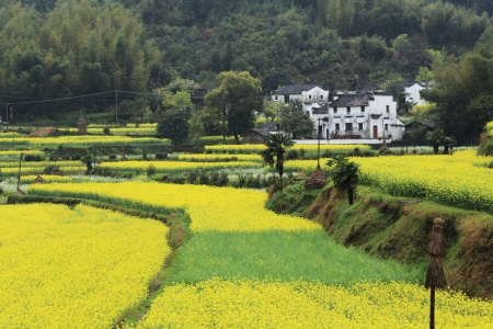 chinese village in spring with rape flower photo
