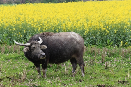 buffalo in the rape flower in spring photo