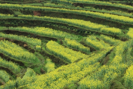 rape plant flower field of china Stock Photo