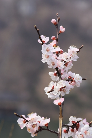 Beautiful blossom peach flowers at background of water