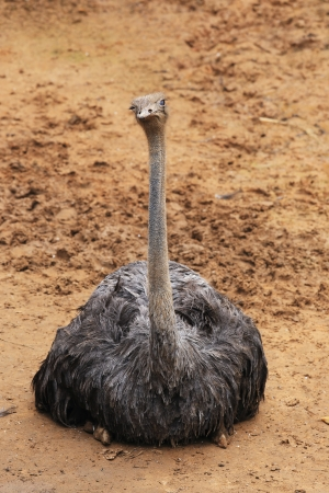 The  portrait of an ostrich  Stock Photo - 21687214
