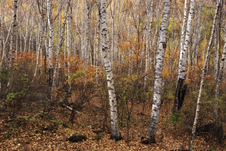 The silver birch at sunny