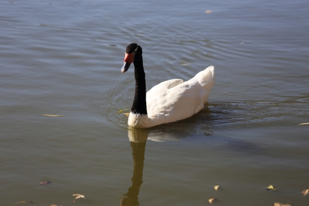swan with black neck in water