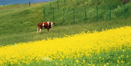 cow in the rape flower in spring Stock Photo