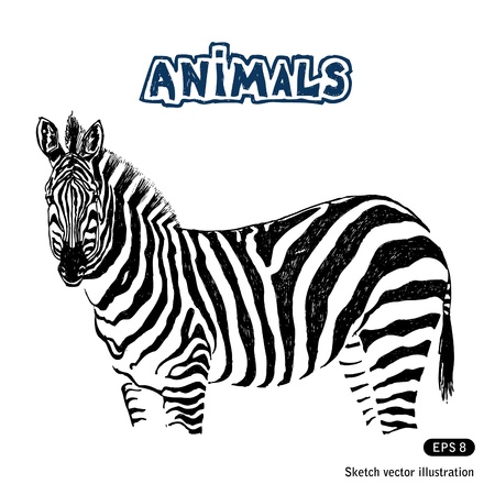 Zebra  Hand drawn vector isolated on white Vector