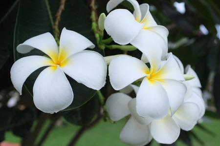 plumeria flower: Nature. White Plumeria flower after rain.
