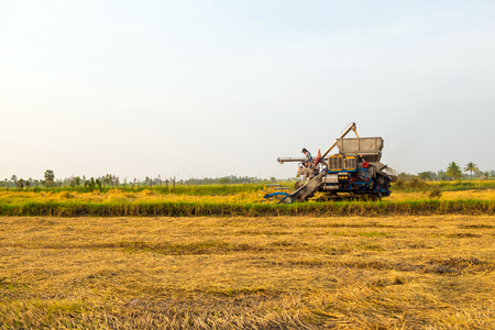 facilitate: harvesters harvesting rice in gold fields