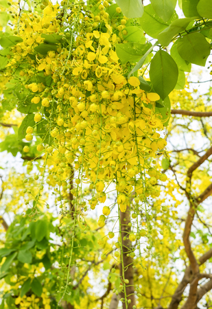 the drumstick tree: Golden Shower Tree,Indian laburnum,koon yellow flower, blooming hang down