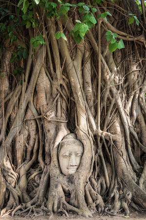 cabeza de buda: Buddha head statue inside the bodhi tree