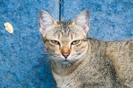 hipocresía: ojos de gato amarillo que mira mirar hipocresía falso sobre fondo azul Foto de archivo