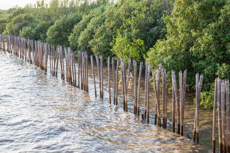 wetland conservation: Mangrove tree on coast bay at evening ,bangpu, thailand