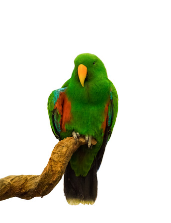 macaw: Macaw parrot green holding branch on white background