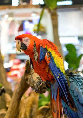parot: Macaw parrot appear funny holding wood