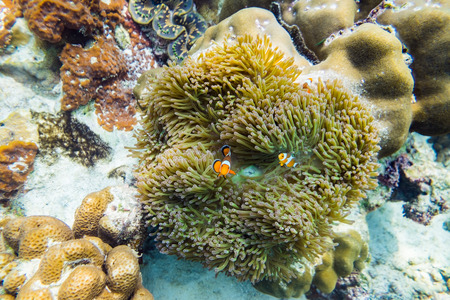 clownfish: Clownfish hiding in coral reef Stock Photo