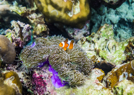 clownfish: Clownfish swim around in coral reef colorful