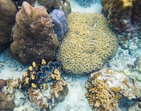 brain coral: Big coral brain with big clam in lipe sea Stock Photo