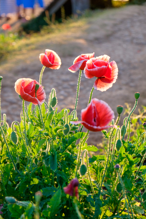 clump: Poppy flower red sunlight shining in clump