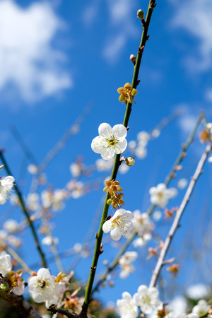 japanese apricot: Chinese plum, Japanese apricot, bloom white flower beautiful on branch Stock Photo