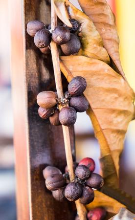 planta de frijol: Coffee bean plant leaf old dry
