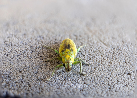 phyllobius: Green Weevil pest small insect gold yellow green Stock Photo