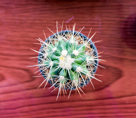 cactus species: Small cactus species in vase on wooden table,flat lay Stock Photo