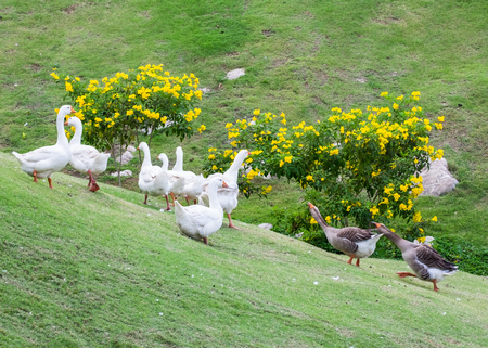 encroach: Black Goose deport group white goose fighting of different species Stock Photo