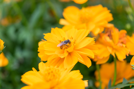 pollinate: Small bee holding pollinate orange yellow flower
