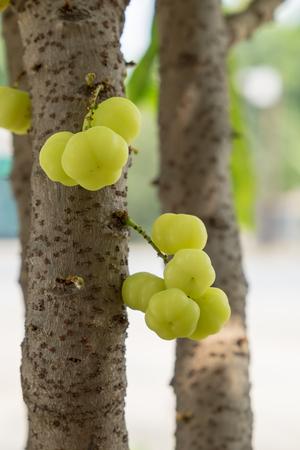 grosella: Star gooseberry fruit on stalk Foto de archivo