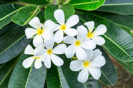 panicle: Plumeria Frangipani white flower yellow center panicle Stock Photo