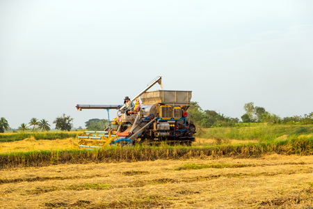 harvesters harvesting rice in gold fields