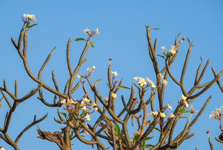 Plumeria, Frangipani, Leelawadee, Lantorm flower bloom white yellow Stock Photo