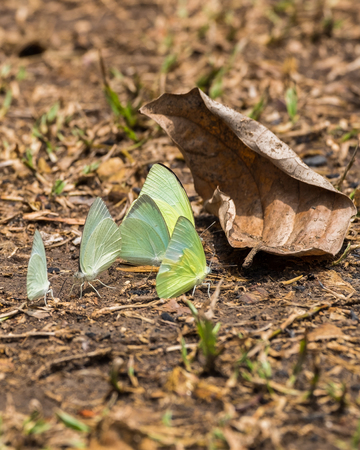 Butterfly group white green yellow on leaves dry Stock Photo
